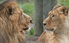 asiatic lion Aapel Blijdorp BB2A9916 (j.a.kok) Tags: leeuw lion aziatischeleeuw asiaticlion pantheraleopersica blijdorp mammal zoogdier dier animal azie asia predator mammel aapel