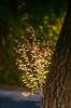 Backlit (LXG_Photos) Tags: agfavistaplus200 rebelg 135lf2 tree leaves analog film bokeh ishootfilm filmisnotdead safaripark