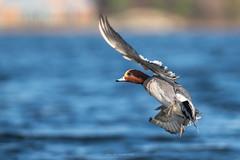 Eurasian Wigeon - Banking (westcoastcaptures) Tags: anaspenelope sonya99ii minoltaaf400f45hsg bif duck bird waterbird lagoon esquimaltlagoon ocean sunlit banking rare