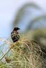 Pássaro (Johnny Photofucker) Tags: pásaro bird uccello uccellino natureza natura map museudapampulha pampulha bh minasgerais brasil brazil brasile 70200mm garibaldi pássarodoarroz passero passarinho ave animal animale bicho desfoque dof