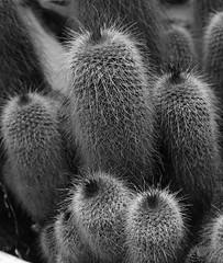 Cactus Family (philhancock) Tags: australia cactus brisbane flora