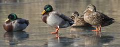 ducks on ice  cold ! (watts_photos) Tags: ducks ice cold frozen weather duck pond water waterfowl fowl bird birds freeze wide angle mallard male female 400 400mm telephoto