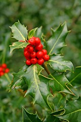 Holly Berry (RoystonVasey) Tags: canon eos 400d digital sigma 1770mm zoom tree holly berry green red