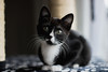 IMG_3748 (danielamesam) Tags: cat cats animal pet animals blackcat blackandwhite black blue greeneyes babycat