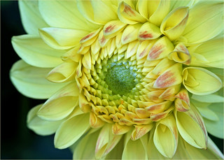 Detail of a dahlia flower