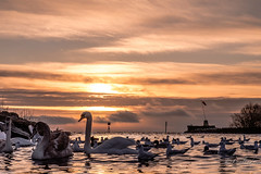 Birds at twilight (Lealtadpics) Tags: coantrim fujifilm xt2 water loughneagh sunset birds swan