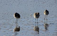 three amigos (scott1346) Tags: water beach cape seascape birds seabirds reflections beauifuldestination wonderous light luminous shadow sunlit sky 1001nights 1001nightsmagiccity canont3i thegalaxy