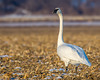 Trumpeter Swan stands guard (Browtine1) Tags: trumpeter swan missouri waterfowl geese goose nature animals animal planet