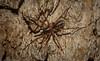 Battalus adamparsonsi (dustaway) Tags: arthropoda arachnida araneae araneomorphae corinnidae battalus battalusadamparsonsi swiftspider australianspiders tullera northernrivers nsw australia