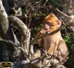 Picando algo (PictureJem) Tags: mono naturaleza animal