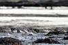 assemblée du soir (Harald DUGENET) Tags: charadriushiaticula limicoles commonringedplover 剑鸻 radedebrest vogel oiseau bretagne atlantique grandgravelot sandregenpfeifer bird corrieregrosso limicole