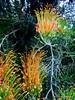 Grevillea (damselfly58) Tags: grevillea plant flower nativeaustralianplant australia australian