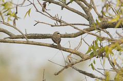 Brown Shrike - Philippine Shrike ssp (as_kannan) Tags: laniuscristatuslucionensis valleyschool bangalore laniidae