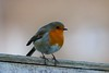 Sitting On The Fence....... (law_keven) Tags: robins robin robinredbreast birds gardenbirds catford london england wildlife wildlifephotography photography
