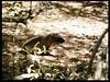 Mongoose (karinanovak) Tags: mongoose chordata mammalia carnivora herpestidae wood