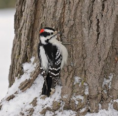 Woodworking (Slow Turning) Tags: picoidespubescens downywoodpecker bird perched clinging tree trunk bark snow winter southernontario