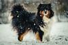 Happy Snow Time (der_peste) Tags: dog dogface snow aussie australianshepherd bokeh dof blur face eyes grumpy tamino winter