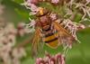 F59266-Hornet-mimic Hoverfly (Volucella zonaria) (DJHiker) Tags: nl hoverfly zweefvlieg diptera