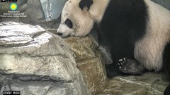 2017_12-19a (gkoo19681) Tags: meixiang beautifulmama sopretty proudmama fuzzywuzzy feetsies brighteyed drinking perfection foreveryoung ccncby nationalzoo