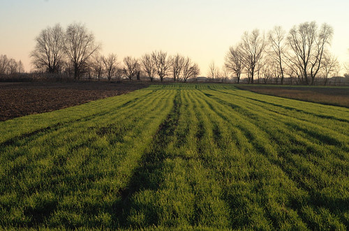 Young winter wheat
