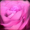 (Cliff Michaels) Tags: iphone06 photoshop flower rose pse9 kroger