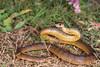 Eastern Brown Snake (R. Francis) Tags: southeastqueensland qld queensland ryanfrancis ryanfrancisphotography easternbrownsnake pseudonajatextilis darlingdowns toowoomba