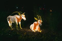 Wild Lights (Strangelove 1981) Tags: 2017 dublinzoo ireland wildlights zoo night lights glow light animals festival