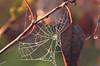 cobweb (oalbinai) Tags: nature fauna droplets cobweb