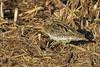 Agachadiza común (Gallinago gallinago) (jsnchezyage) Tags: agachadizacomún gallinagogallinago ave fauna naturaleza birdi birding birdwatching ornithology beak feather snipe commonsnipe