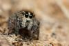 Pellenes cf. nigrociliatus (Jerome Picard) Tags: lieu pellenes salticidae france fr saltique salticidé jumpingspider araignéesauteuse arachnid arthropoda douélafontaine araignée