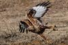 Gotcha! (keynowski) Tags: longleggedbuzzard kızılşahin buteorufinus nature ngc animalplanet animal bird birdofprey wild wildlife ornithology 70d canon70d 400mmf56l canonef400mmf56lusm