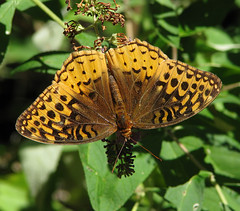12 Days of Christmas Butterflies:  #6 - the angel Gabriel was sent from God (Vicki's Nature) Tags: greatspangledfritillary big brown tan golden spots butterfly butterflybush yard georgia vickisnature canon s5 7446 12daysofchristmasbutterflies 2017 he returnfave returnbigfave