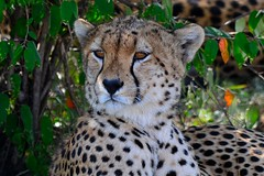 DDR_3765 (Santiago Sanz Romero) Tags: kenya wildlife animales ngc