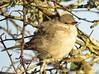 Barred Warbler (brianwaller703) Tags: barred warbler
