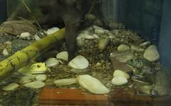 Dois mais Um (fotojornalismoespm) Tags: sapo rã aquário bambu tronco tijolo cascalho água