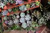 Succulents! (Josiedurney) Tags: london eastlondon adventure adventures fun explore exploration myends towerhamlets bethnalgreen hackney canarywharf hipster indie style tumblr green plants nature houseinterior interiordecor natural daylight light shadows selling economy cute cool inspiration plant pinterest leaves white classic clean succulents palms flowers cacti lillies airplants hangingplants trailingplants plantpots creative millenials conservatory archives shop