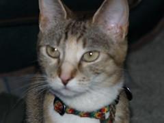 private 362 (lorablong) Tags: westhollywood california cat pet twix