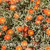 Malephora crocea (SUBENUIX) Tags: aizoaceae malephoracrocea suculentas subenuix subenuixcom planta suculent suculenta botanic botanical