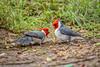 Red-capped Cardinals (PaulBalfe) Tags: bird oahu hawaii redcappedcardinal waikiki