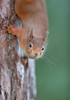 Red squirrel (Mike Mckenzie8) Tags: sciurus vulgaris scotland scottish wild wildlife mammal pine tree caledonian forest winter canon