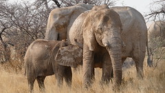 Muttermilch ist doch das Beste (marionkaminski) Tags: namibia afrika africa elephant animal animali dieren panasonic lumixfz1000 animale etoshanationalpark etoshanp