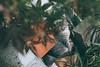 河口湖喵星人|山梨縣 (里卡豆) Tags: minamitsurugun yamanashiken 日本 jp fujiyoshidashi penf 17mm f12 pro olympus17mmf12pro 關東 japan kanto olympus 富士山 fujisan cat 貓 喵星人