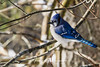 Blue Jay (steelers_#1fan) Tags: cold weather winter fun amateurs birds algonquinpark bluejays ontario sigma 150600mm canon 7d canada colour cottage cottagelife