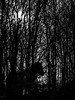 Horse in trees (Robert Norbury) Tags: silhouette horse trees animal