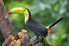 Keel-billed Toucan Dec17-3279 (justl.karen) Tags: toucan costarica bird birds toucans keelbilledtoucan