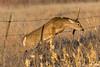 Tight Squeeze (dekish1) Tags: whitetail deer fence jump 2r1a5531jpg canon5dmarkii canon100400mm cherrycreekstatepark copyrightdavidkish2018