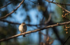 Cold (imtiazchaudhry) Tags: bird sparrow twig beautiful tree branches winters cold fluffed