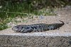 20180105-143500 (carlosgera) Tags: lagartoovero lagarto lizard salvatormerianae minas uruguay