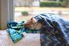 Mixed plaids --the prequel (rootcrop54) Tags: otis cold winter day dilute ginger orange tabby male cat window blankie blanket chilly neko macska kedi 猫 kočka kissa γάτα köttur kucing gatto 고양이 kaķis katė katt katze katzen kot кошка mačka gatos maček kitteh chat ネコ