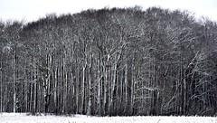 Der erste Winterspaziergang; Bergenhusen, Stapelholm (44) (Chironius) Tags: stapelholm bergenhusen schleswigholstein deutschland germany allemagne alemania germania германия szlezwigholsztyn niemcy baum bäume tree trees arbre дерево árbol arbres деревья árboles albero árvore ağaç boom träd schnee winter eis wald forest forêt лес bosque skov las